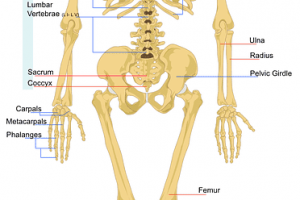 Skeleton diagram showing the human spine, skull, pelvis, limbs, etc.